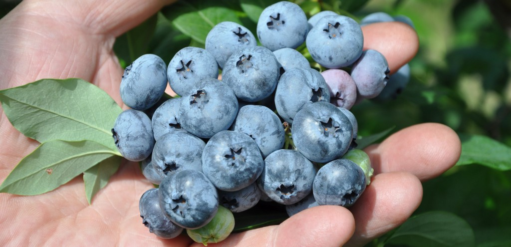 Hand holding Okanagan's Finest Blueberries
